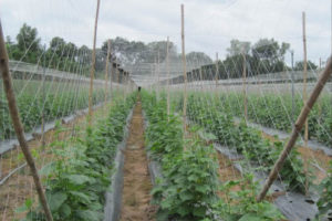 Ứng dụng của lưới giàn leo trong nông nghiệp